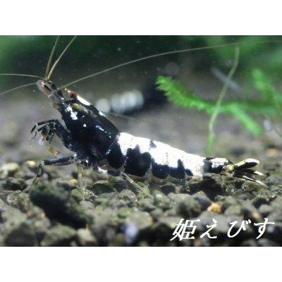 画像1: ブラックカオスシュリンプ(ペア)