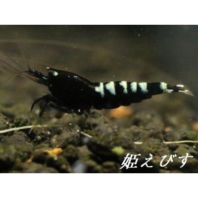 画像3: ブラックカオスシュリンプ(ペア)