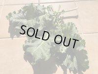 【農薬不使用】プチヴェール生葉 500g入  農場直送いたします